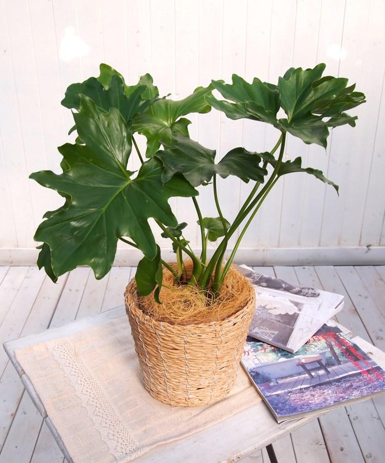 日比谷花壇(ヒビヤカダン) 観葉植物「セローム・バスケット」