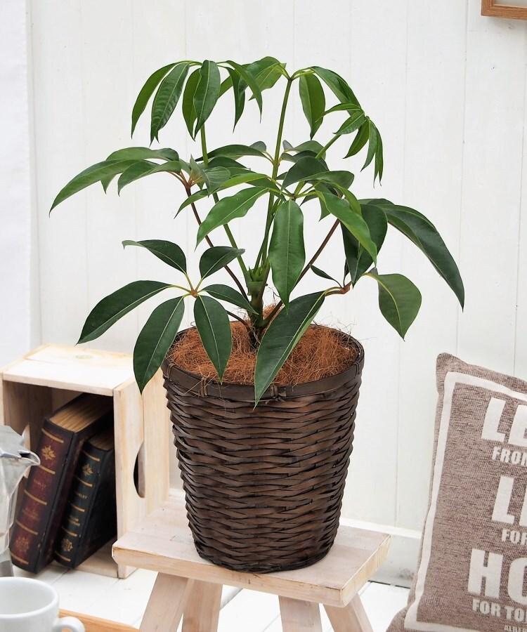 日比谷花壇(ヒビヤカダン) 観葉植物「ツピタンサス・バスケット」
