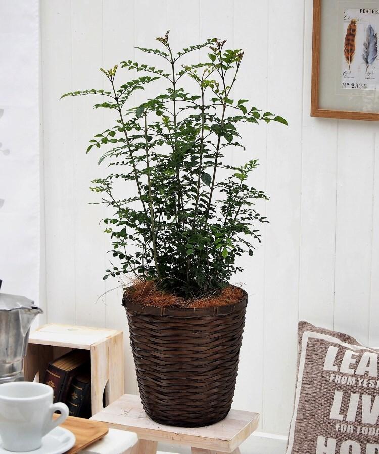 日比谷花壇(ヒビヤカダン) 観葉植物「トネリコ・バスケット」