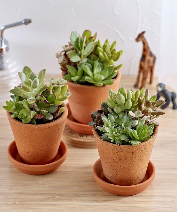 日比谷花壇(ヒビヤカダン) 多肉植物「寄せ植え3個セット」