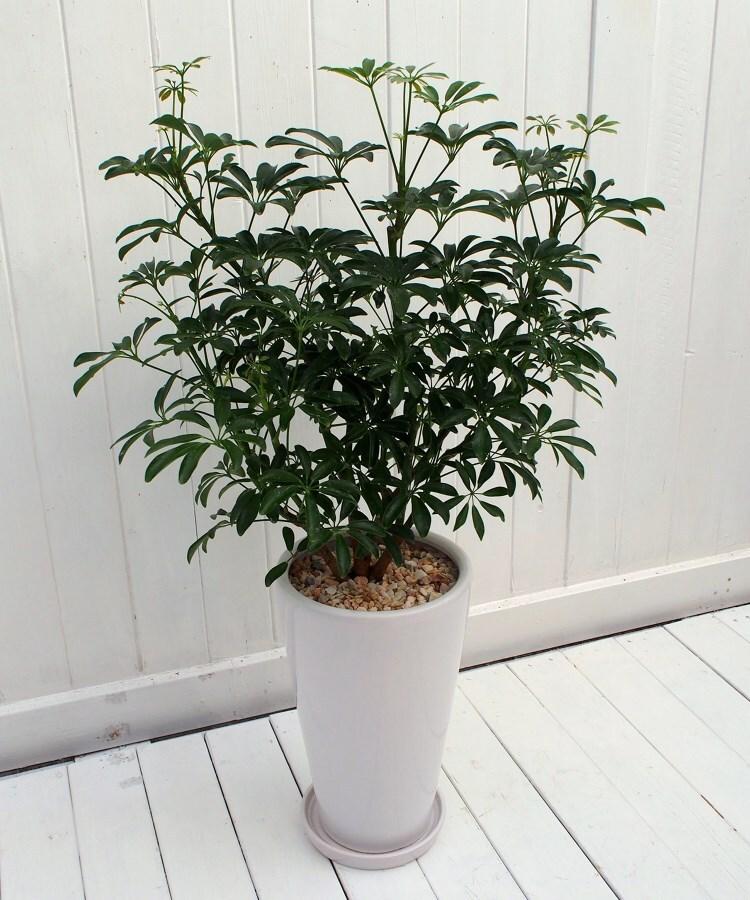 日比谷花壇(ヒビヤカダン) 観葉植物「カポックコンパクタ・ホワイトポット」