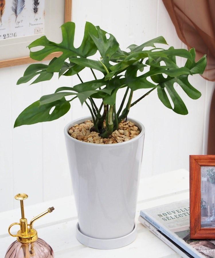 日比谷花壇(ヒビヤカダン) 観葉植物「ヒメモンステラ」ホワイトポット